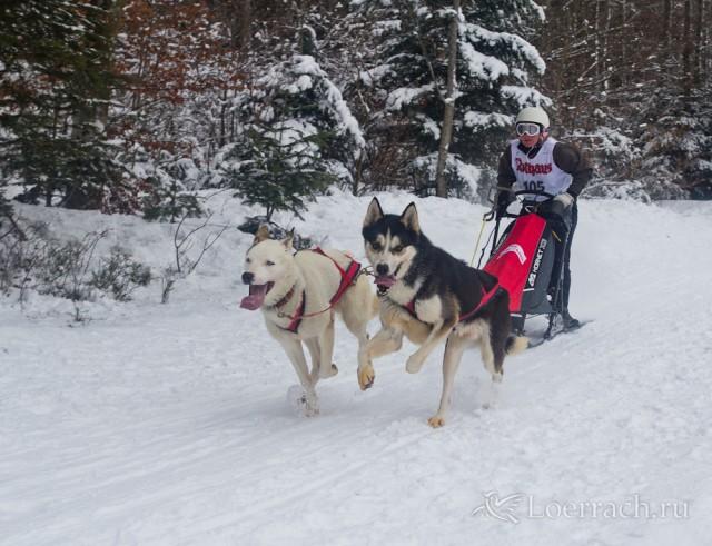 Гонки на собачьих упряжках 2012 в Тодтмосе-2098